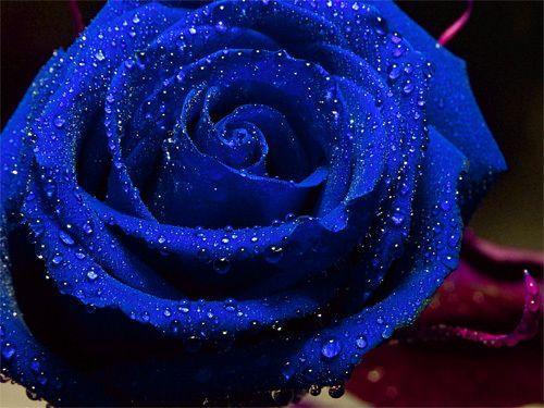 les-roses-bleues_1550145-L
